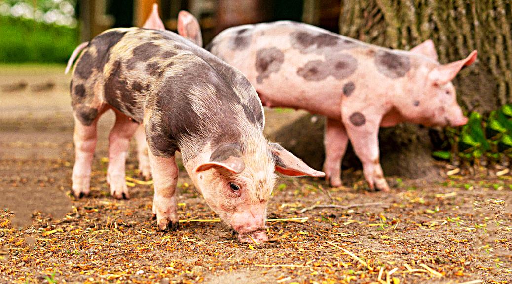 Piggback 20